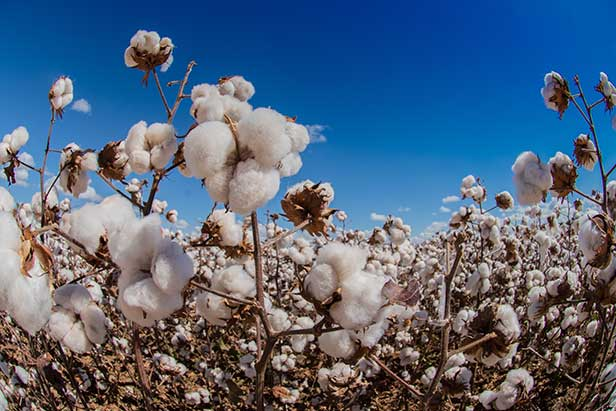 House Votes to Ban Xinjiang Cotton
